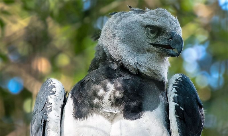 Águila arpía Características, alimentación, reproducción, hábitat Ave