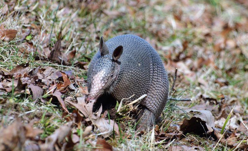 Armadillo Características, hábitat, reproducción, alimentación Animal