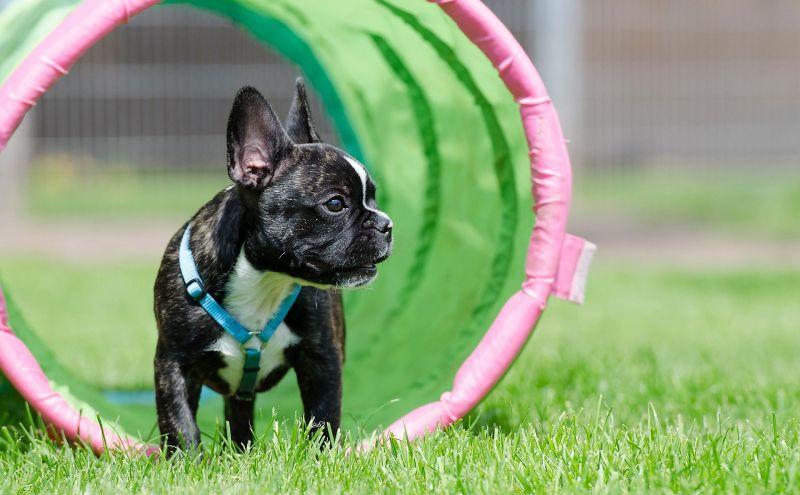 Bulldog francés Características, comportamiento, cuidados, historia