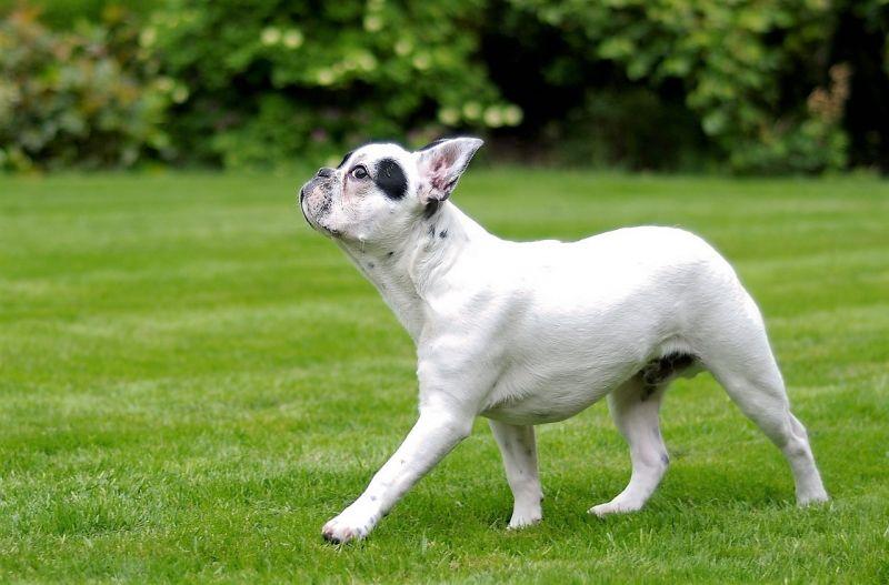 El bulldog fránces