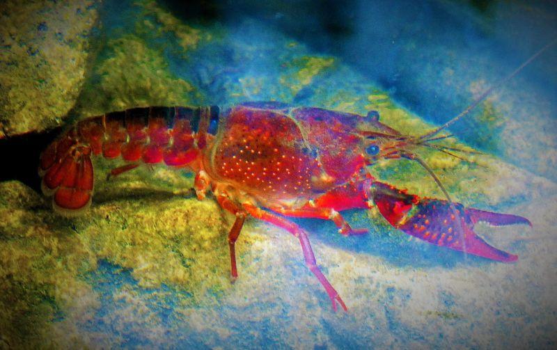 Cangrejo de río | Características, hábitat, reproducción, anatomía ...