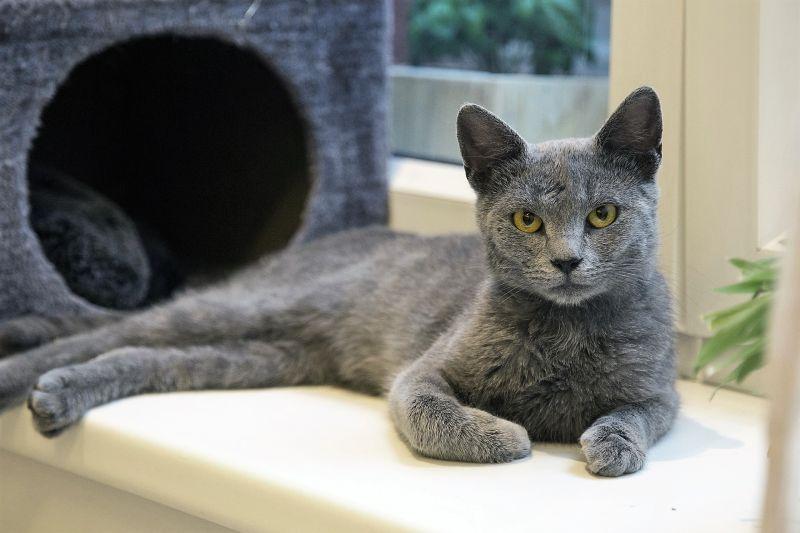 Gato azul ruso Características, comportamiento, tipos, origen Mascota