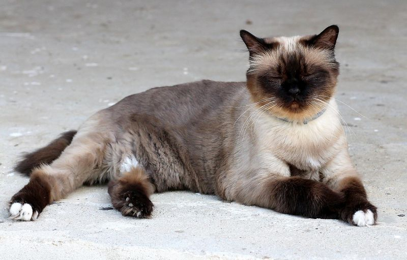 Gato burmés Características, cuidados, alimentación Mascota
