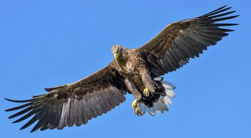 Águila imperial Características, hábitat, reproducción, alimentación Ave