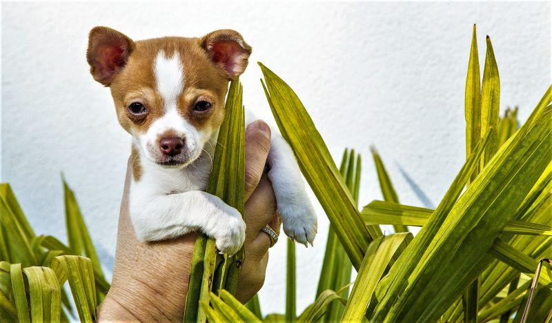 Chihuahua Características, origen, cuidados, comportamiento Perro