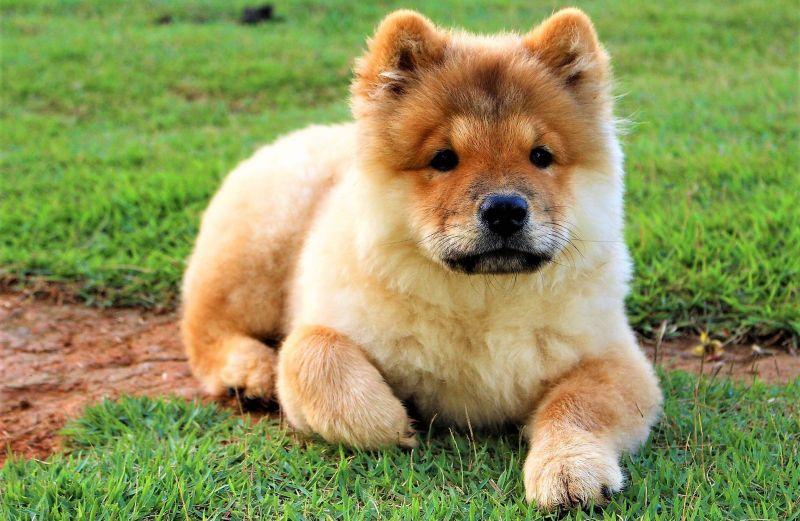 Chow chow Características, origen, cuidados, caracter, tipos Mascota