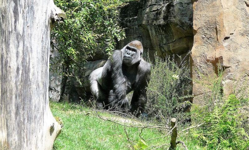 Gorila Características, hábitat, alimentación, reproducción Animal