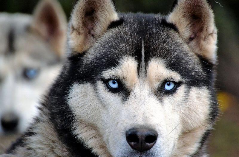 Husky siberiano Características, comportamiento, cuidados Perro