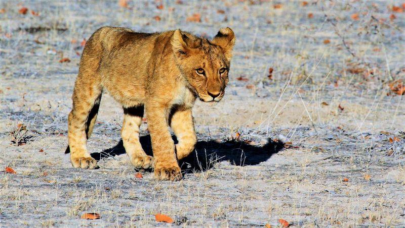 León Características, alimentación, reproducción, hábitat Animal