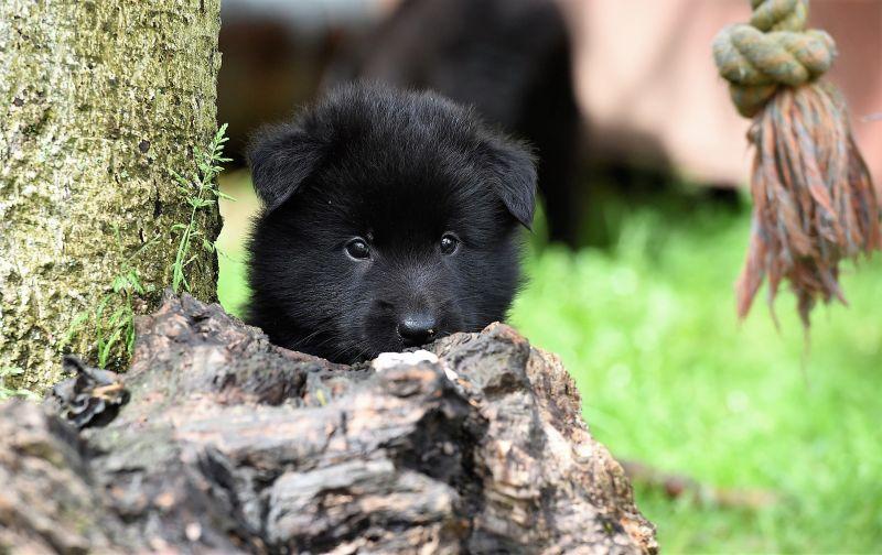 Pastor belga Características, comportamiento, origen Mascota, perro