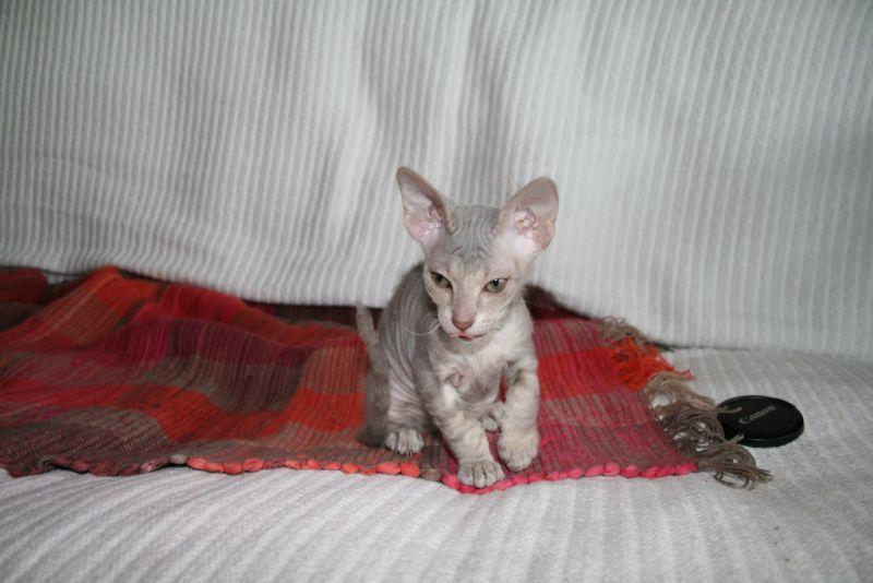 Peterbald Comportamiento, características, cuidados Mascota, gato