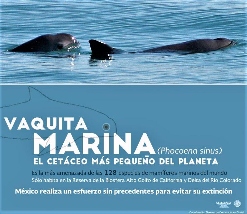Vaquita marina Características, hábitat, alimentación, reproducción