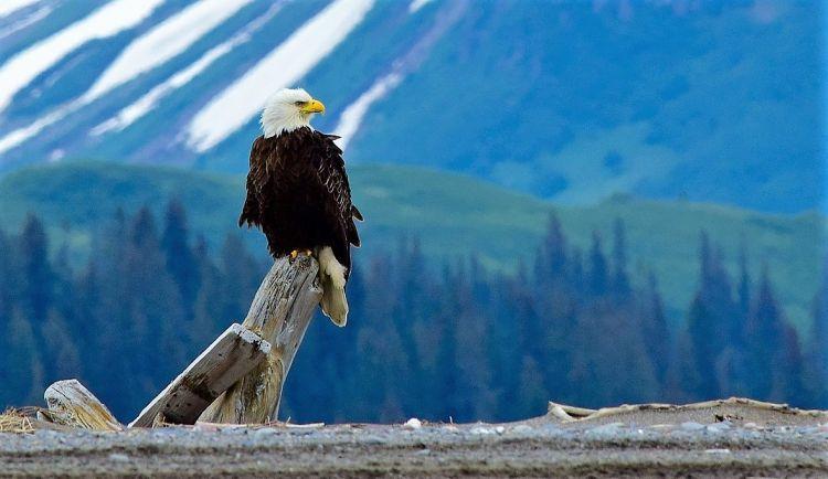 Águila calva Características, comportamiento, alimentación, reproducción