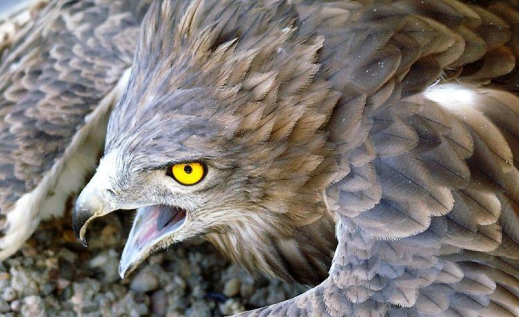 Águila culebrera Características, hábitat, reproducción, alimentación