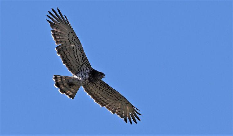 El águila culebrera