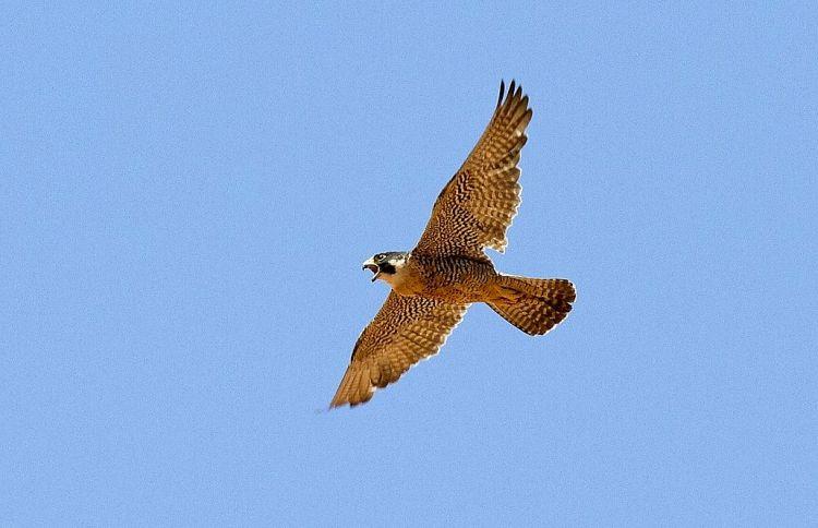 Halcón peregrino Características, alimentación, reproducción, hábitat Ave