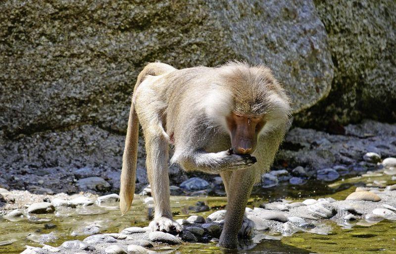 Babuino Características, hábitat, alimentación, reproducción Animal