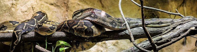 Boa constrictor Características, reproducción, comportamiento Serpiente