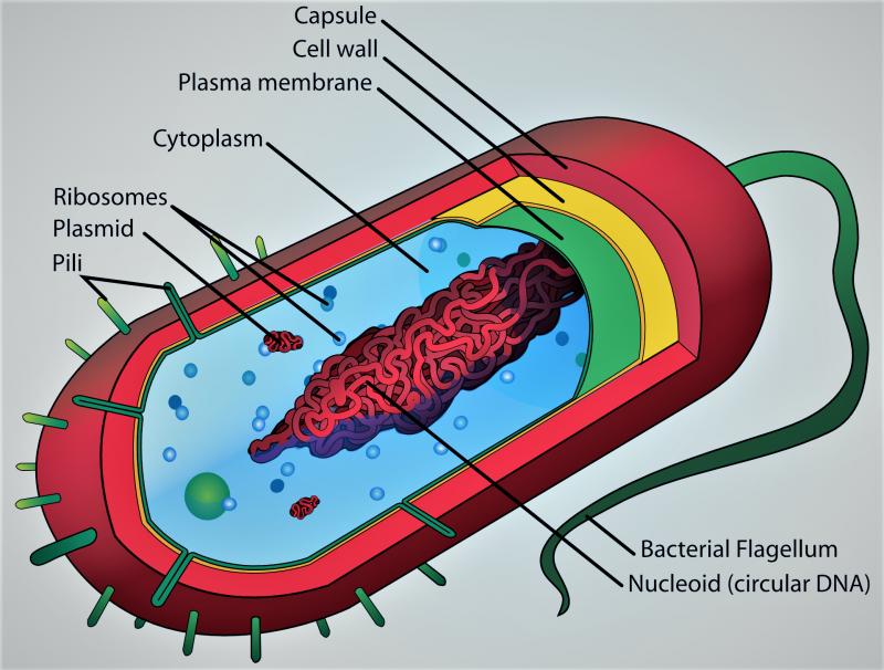 Célula procarionte | Qué es, características, clasificación, partes
