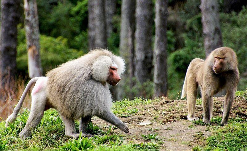 El babuino