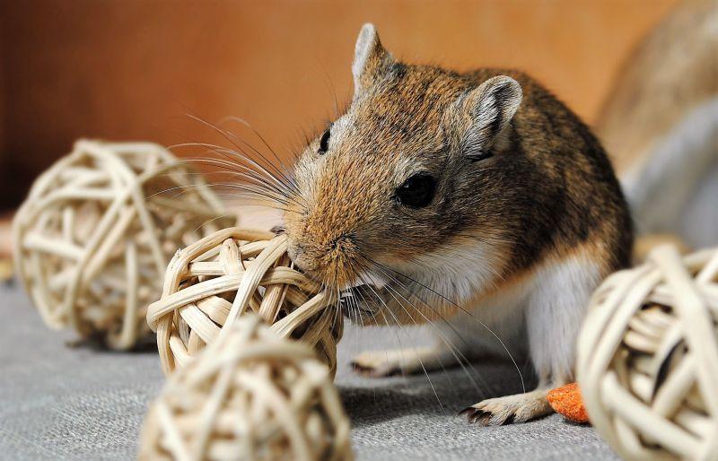 Jerbo - Características, alimentación, comportamiento, mascota