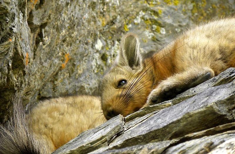 Vizcacha Características, hábitat, alimentación Chilena, Argentina Animal