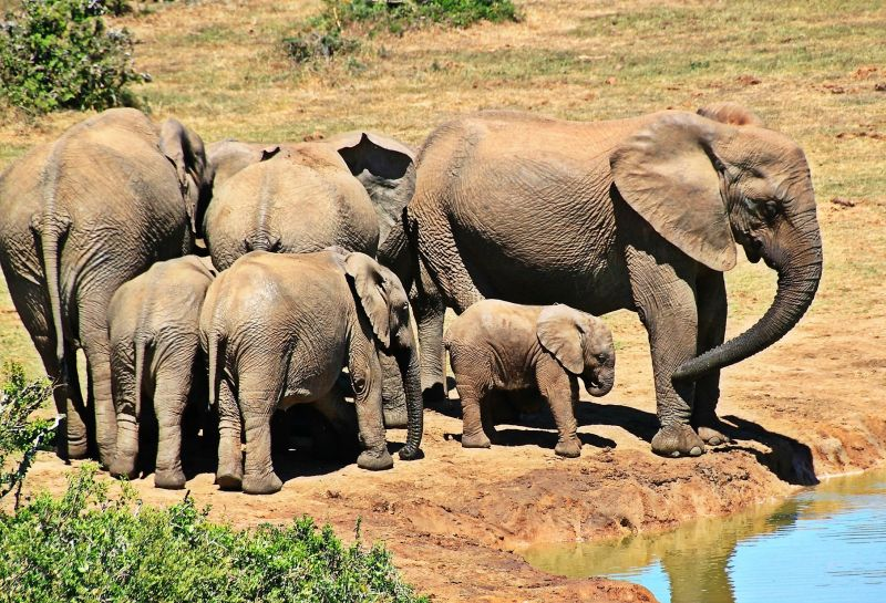Oreja de elefante reproduccion asexual