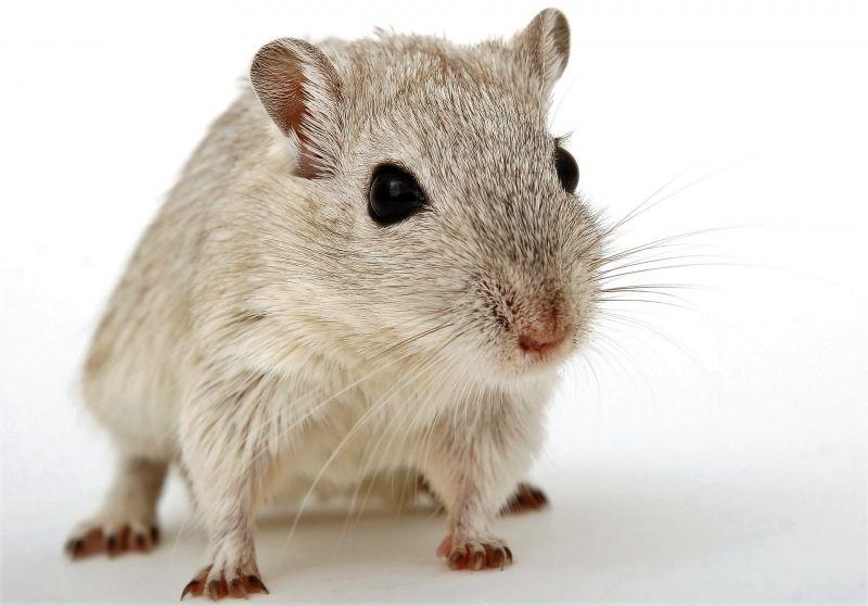 Hamster enano chino reproduccion asexual en