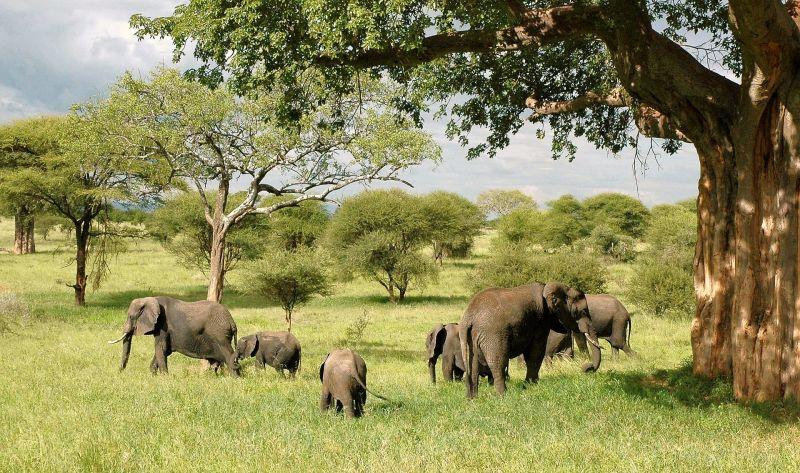 Elefante Características, alimentación, reproducción, hábitat, información