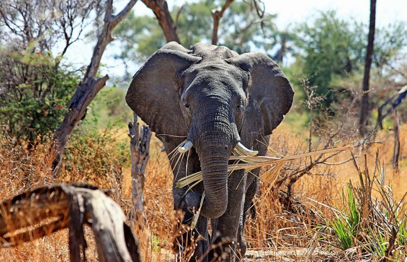 Elefante africano Características, hábitat, alimentación, reproducción
