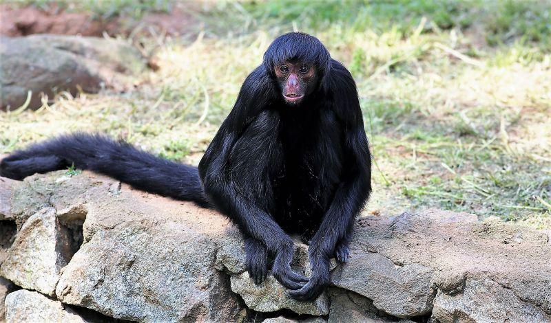 Mono araña Características, hábitat, dónde vive, peligro de extinción