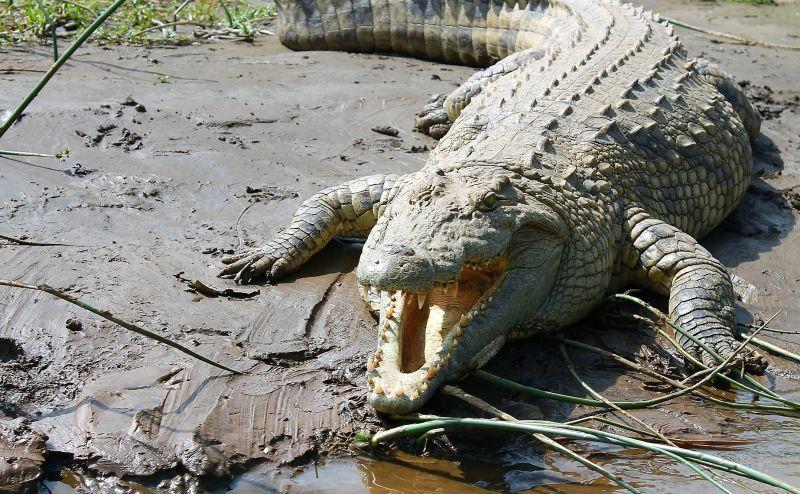 Cocodrilo del Nilo Características, alimentación, reproducción Animal