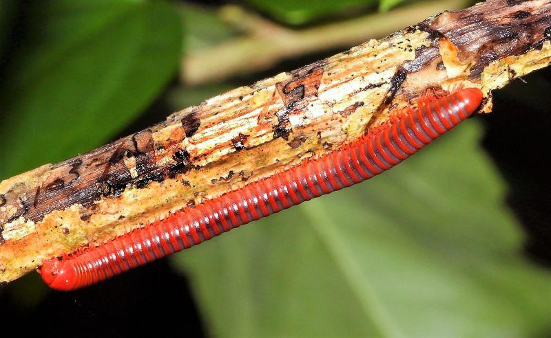 El milpiés