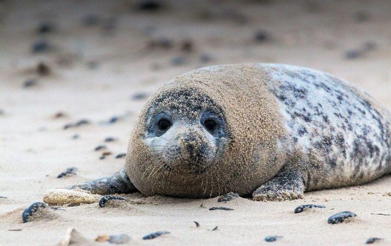 La foca