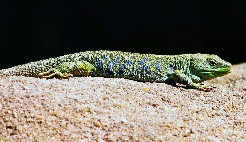 Lagarto Características, hábitat, reproducción, alimentación Animal
