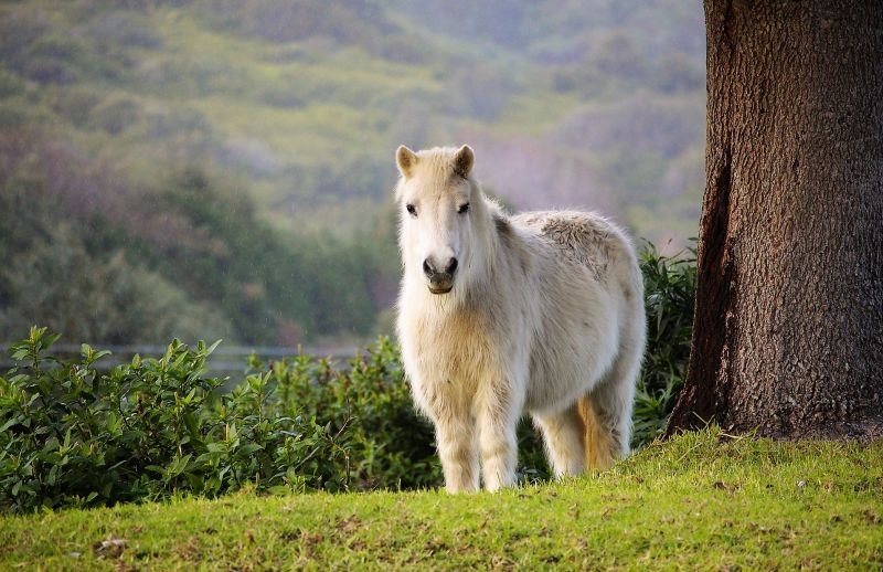 Poni Caracteristicas, alimentación, reproducción Mascota, animal