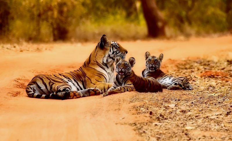 Tigre Características, hábitat, alimentación, reproducción, información