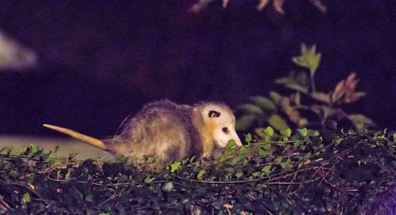 Tlacuache | Qué es, características, hábitat, alimentación, reproducción