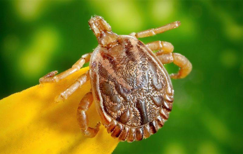 Garrapatas Características, hábitat, alimentación, reproducción, riesgos