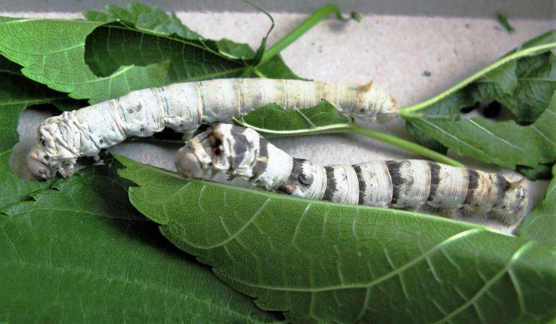 Gusano de seda Características, alimentación, el huevo, la larva, fases