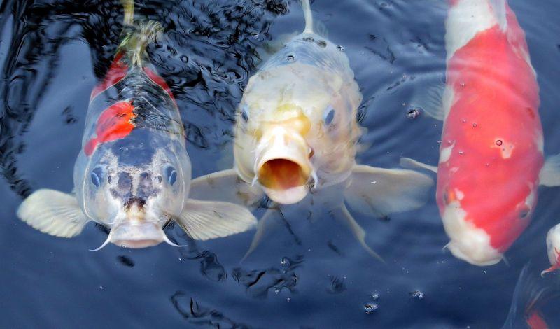 Pez koi Características, hábitat, alimentación, reproducción, cuidados