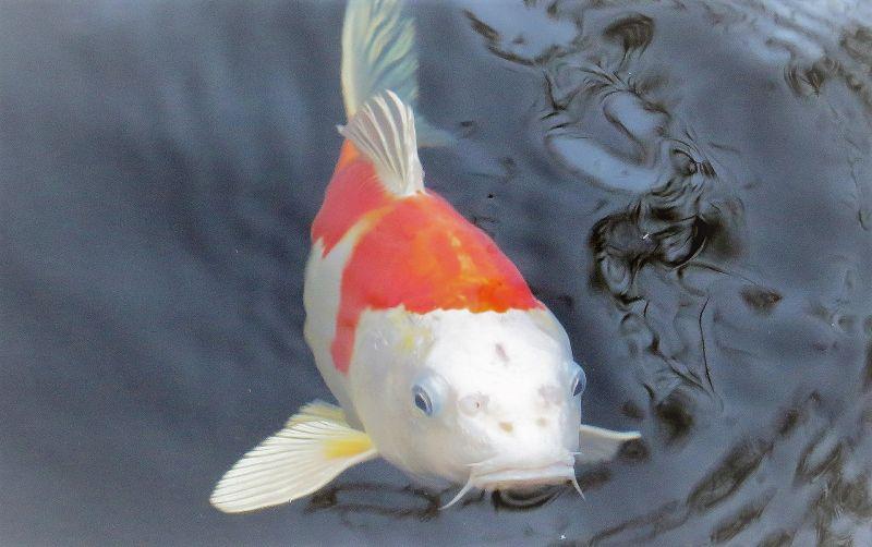 Pez koi | Características, hábitat, alimentación, reproducción, cuidados