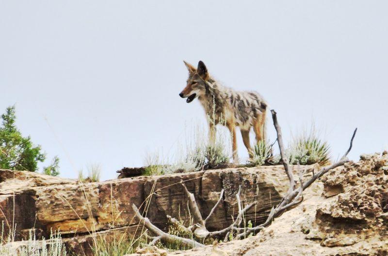 Coyote Características, alimentación, hábitat, reproducción, información