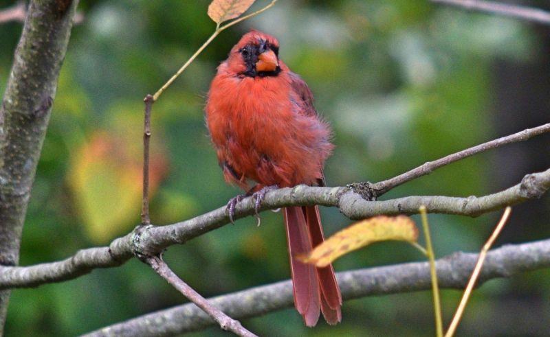El pájaro cardenal
