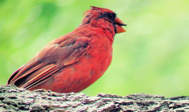 Pájaro cardenal Características, tipos, canto, conducta, información Ave