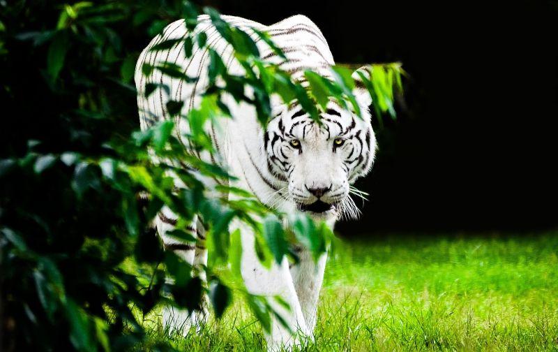 El tigre blanco