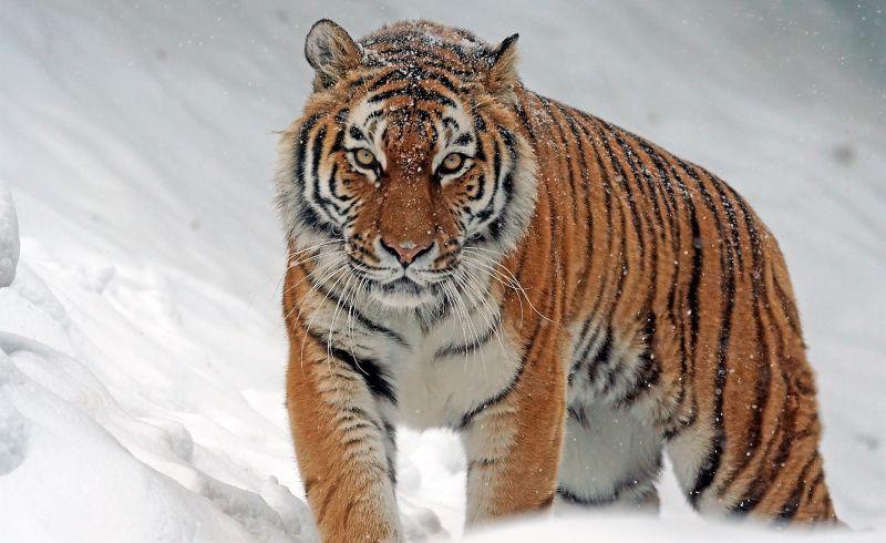El tigre siberiano