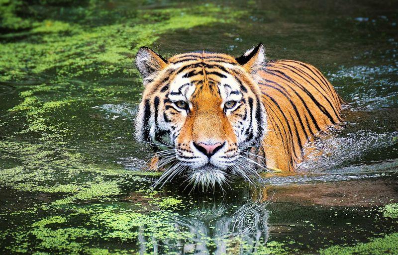 Felinos Qué son, tipos, clasificación, características, hábitat, reproducción