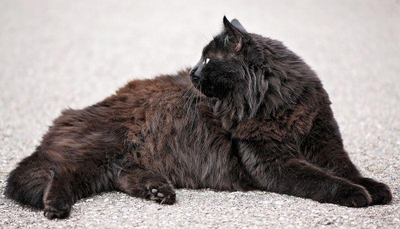 Gato angora Características, origen, comportamiento, cuidados Mascota