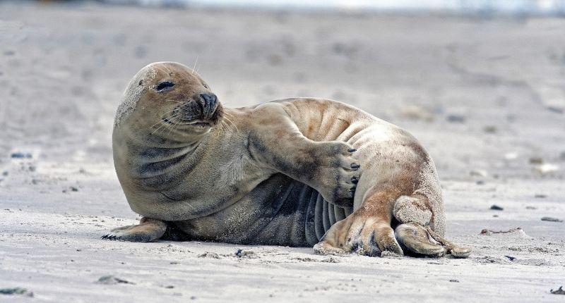 La foca monje